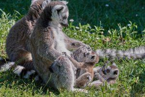 lemur-Madagascar